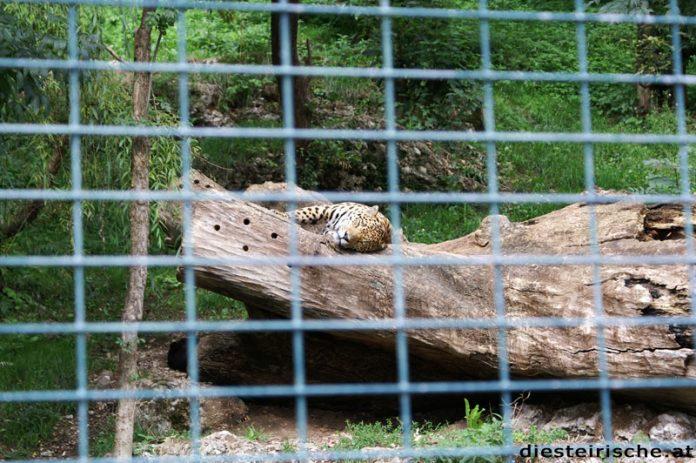 Zoo Salzburg Gepard