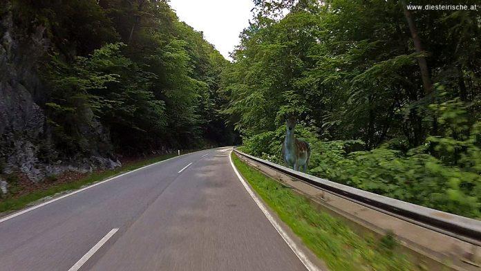 Wildunfälle Autostraße