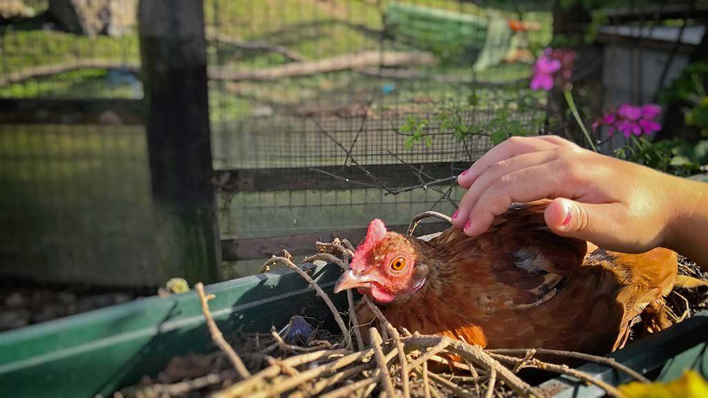 Huhn im Tierpark Preding